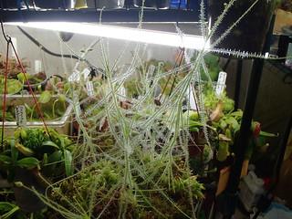 B. liniflora   by hawken.carlton