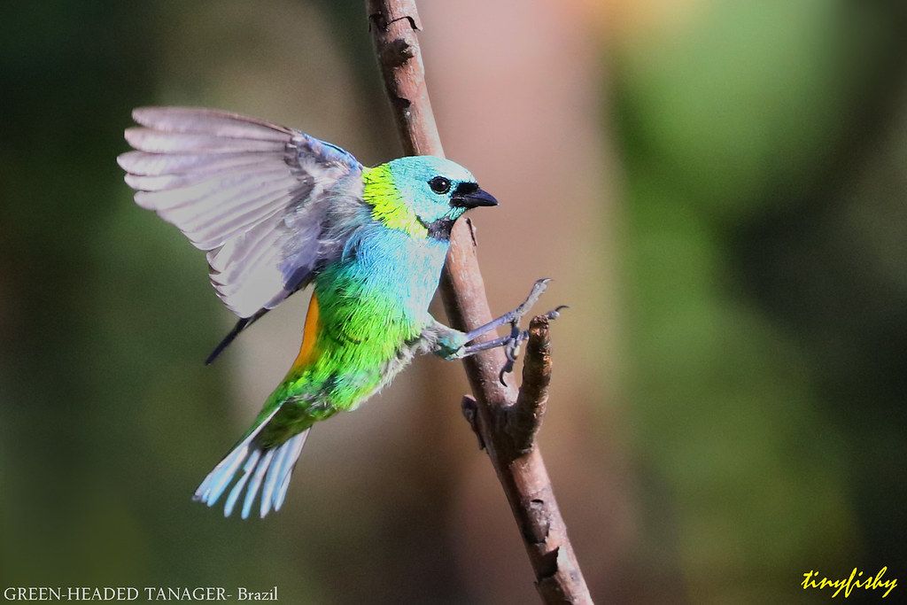 (#806b) Green-Headed Tanager - [ Itatiaia National Park, Brazil ]