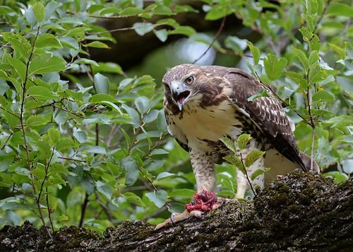 birds birdsofprey raptors hawks redtailedhawk hawkredtailed nikon nikond7100 tamronsp150600mmf563divc jdawildlife johnny newyorkbotanicalgardens whatbirdlunch rthachipmunkbreakfast wow