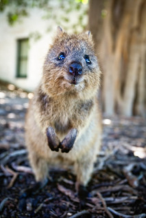 Smile for the camera! Quokka, the worlds most happiest animal! | by Marc Russo (Australia)