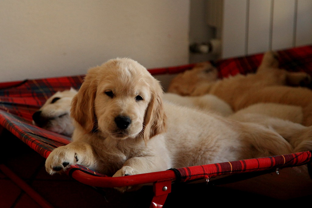 I Cuccioli Di Miele Golden Retriever Franco Vannini Flickr