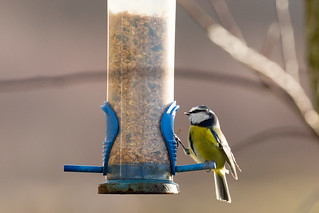 Blue Tit   by AnnieMacD