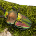 Rainbow Stag Beetle - Photo (c) Mashku, some rights reserved (CC BY-NC-SA)