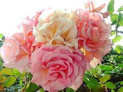 A posie of roses in the garden today #hospitality #home #tourism #dunlaoghaire #monkstown #flowers #roses #dublin #blackrock #garden #ireland #bridal #honeymoon #romantic #summer #flora