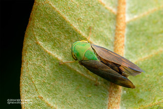Leafhopper (Tartessus sp.) - DSC_4518