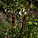 Flickr photo 'N20141222-0029—Vaccinium ovatum—RPBG' by: John Rusk.