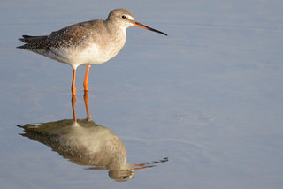 Spotted Redshank (Tringa erythropus) 20-9-14 | by Brian Carruthers-Dublin-Eire