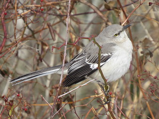 Northern Mockingbird | by Justin L. Lee