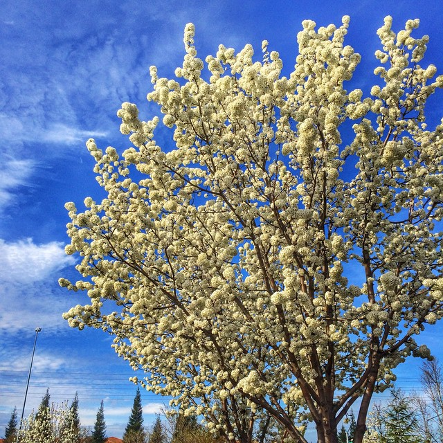 Awesome White Blooms On Trees In Roseville California Flickr