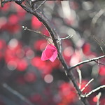 【紅緋】 scarlet