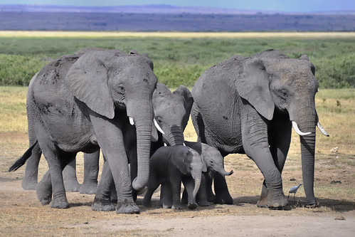 Elephants on the move in Amboseli National Park, Kenya, East Africa | by diana_robinson