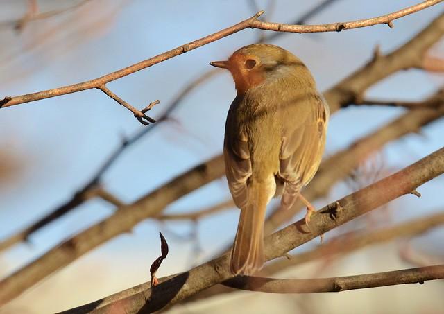 Rouge-gorge familier - Erithacus rubecula - European robin