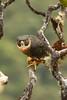 falcão-de-peito-laranja - Orange-breasted Falcon (Falco deiroleucus) by Luana Bianquini