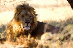 Lion Sunbathing