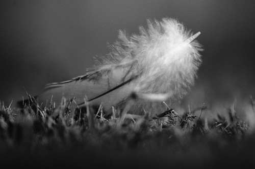 nature israel blackwhite feather noirblanc plume tamronaf70300mmf456divcusdif