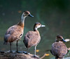 West Indian Whistling-duck Dendrocygna arborea by dermoidhome