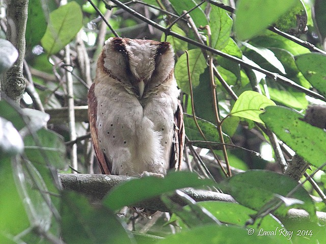 1.05709 Phodile de Ceylan / Phodilus assimilis ripleyi / Sri Lanka Bay-owl