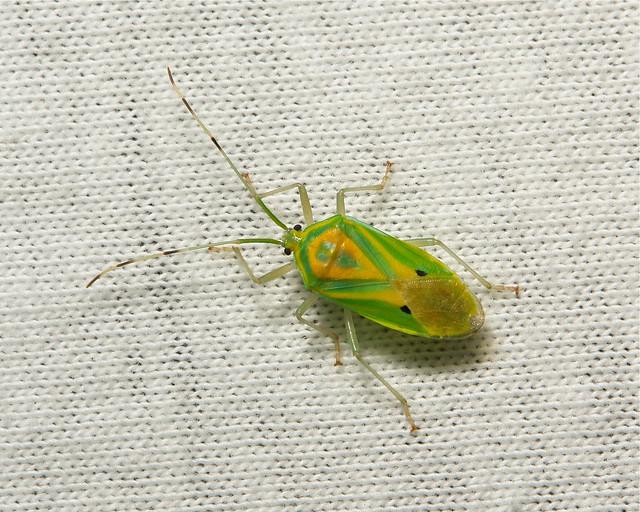 Shield Bug (Urolabida histrionica, Urostylididae)