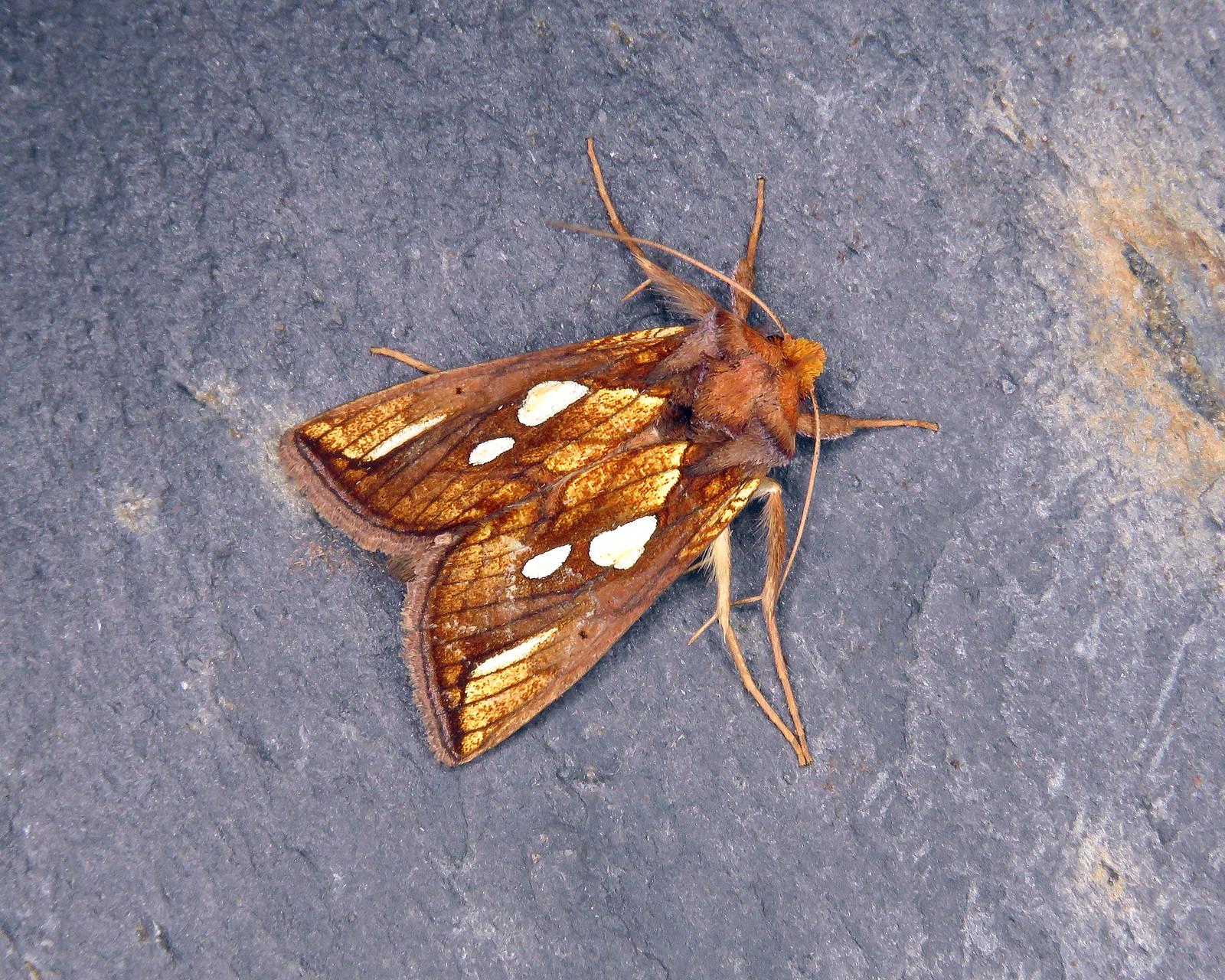 73.022 Gold Spot - Plusia festucae
