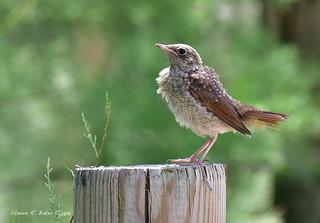 Rossignol philomèle/ Common Nightingale (Luscinia megarhynchos)