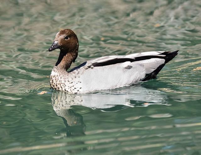 180417 Duck