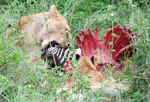 lion-eating-zebra-carcass | by quirkytravelguy