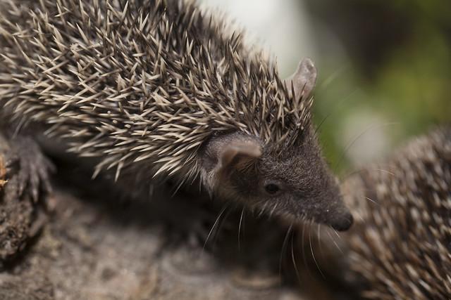 Lesser Madagascar Hedgehog Tenrec