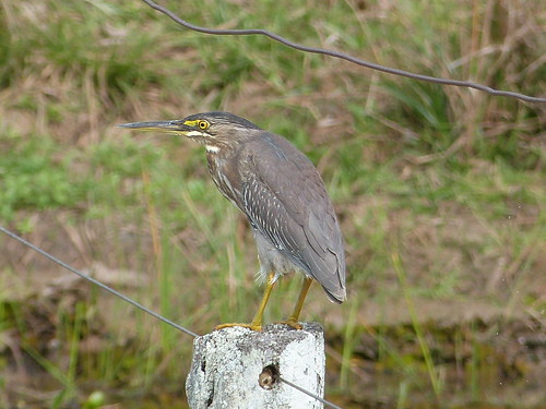 64. Héron strié - Butorides striata - Striated Heron | by notjes1966