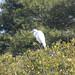 Flickr photo 'Ardea alba (Great Egret)' by: Arthur Chapman.