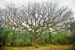 Oak tree spread
