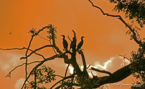 hometoroost nikon nikoncoolpixp510 coombeabbey perched perch bird birds tree branch sky cormorant cormorants roost sunset sunrise