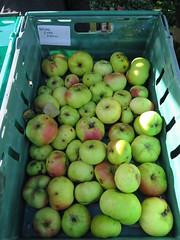 Broad Eye Pippin Apples. IMG_0276