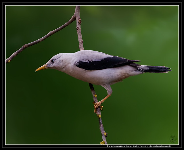 The Andamans White Headed Starling