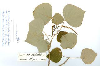 Homalanthus populifolius (reverse side) from Lord Howe Isl ...