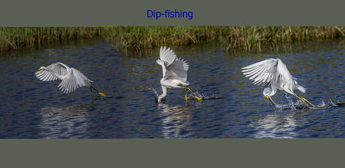 Snowy Egret - Dip-fishing (Composite) | by Andy Morffew