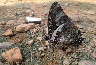 blue-spotted charaxes