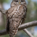 Flickr photo 'Mexican Spotted Owl, Strix occidentalis lucida (Nelson, 1903)' by: Misenus1.