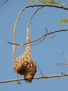 Weaver nest | by guba.swaziland