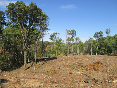 Clearcut for pine planting