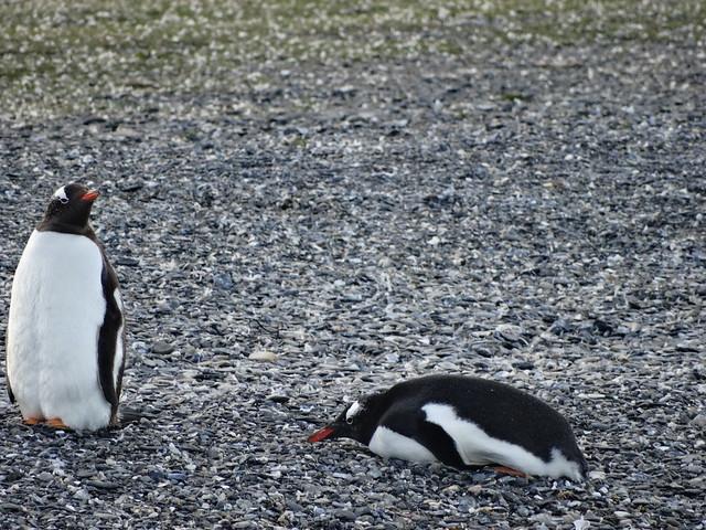 Pingüinos Papua