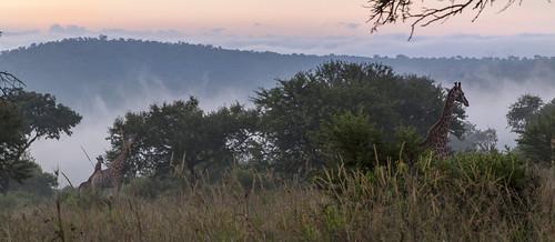 southafrica giraffes giraffe mpumalanga lydenburg kameelperd kuduranch kuduprivatenaturereserve kudugameranch