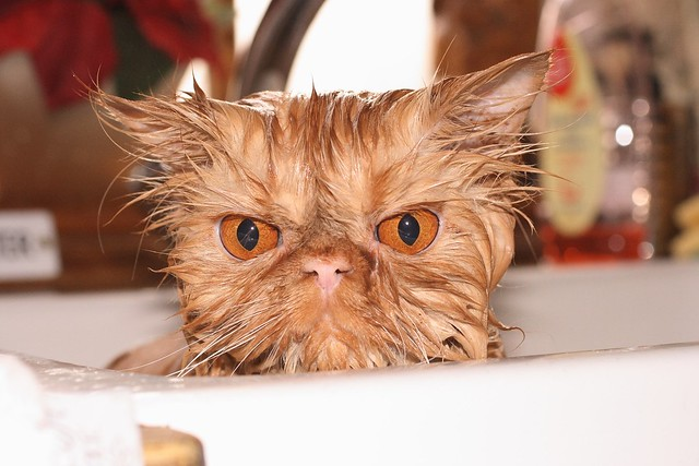 Wet and annoyed Persian pussy cat!.