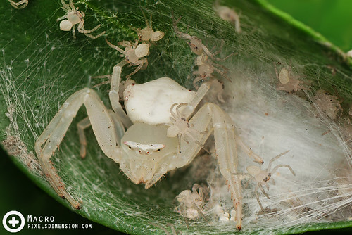 White Crab Spider and spiderlings- Thomisus sp. ♀ | by PF T.J.