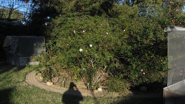IMG_8436 rose circle garden goleta