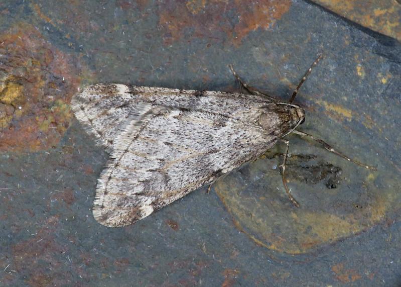 70.245 March Moth - Alsophila aescularia