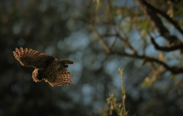 Little owl Hunting