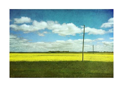 canola manitoba field landscape