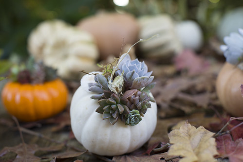 Slow Harvest #6 (detail white pumpkin) -- Embellish novelty pumpkins and ornamental gourds with succulents and seashells | by Slow Flowers