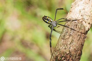 An adult Dang's Cross Spider releasing bridge-line silk- Argiope dang ♀ | by PF T.J.