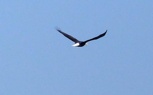 bird eagle baldeagle virginia virginiastatepark chippokesplantationstatepark jamesriver